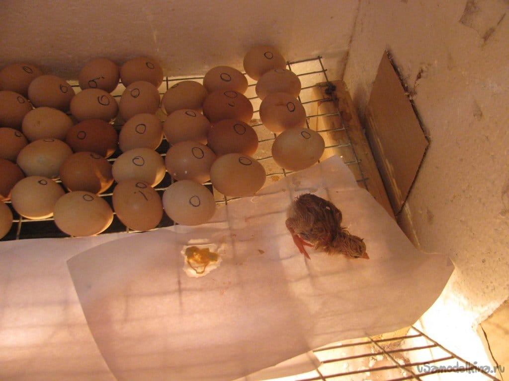 Первый опыт инкубации цыплят, а также обустройство для них домика